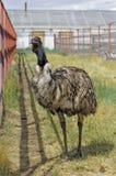 Lustiges Gähnen des Emus Stockfotografie