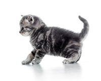 Lustiges gehendes Kätzchen der schwarzen Katze auf weißem Hintergrund Stockbild