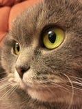 Lustiges Gesicht von Scottish falten Katze mit großen orange Augen Lizenzfreie Stockfotos
