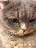Lustiges Gesicht von Scottish falten Katze mit großen orange Augen Stockfotografie