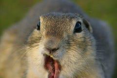 Lustiges Gopher-Gesicht Stockfotografie