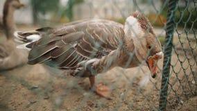Lustiges inländisches goosee im Hof, der Kamera betrachtet Flache Schärfentiefe stock footage