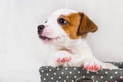 Lustiges Jack Russell Terrier-Hündchen im Korb lizenzfreie stockfotografie