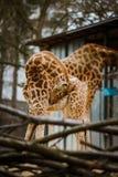 Lustiges junges afrikanisches Giraffenkind verdrehte seinen Hals für saubere Wolle, gewaschen auf dem Hintergrund von Eltern von  Stockbilder