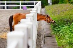 Lustiges junges Pferd, das Blumen durch den Zaun isst stockfotos