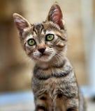 Lustiges Kätzchen mit grünen Augen Lizenzfreies Stockfoto