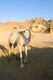 Lustiges Kamel Lizenzfreies Stockbild