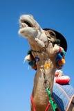 Lustiges Kamel lizenzfreies stockfoto