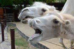 Lustiges Kamel im Zoo stockfoto