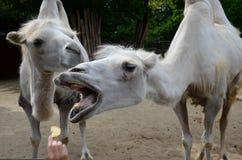 Lustiges Kamel im Zoo stockbilder