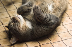 Lustiges Katzelügen Lizenzfreie Stockfotografie