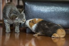 Lustiges Katzen- und Meerschweinchenküssen lizenzfreie stockfotografie