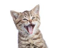 Lustiges Katzenporträt lokalisiert lizenzfreie stockfotografie