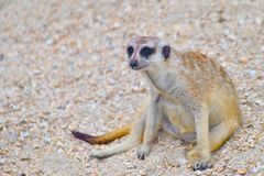 Lustiges meerkat sitzt auf dem Kies stockfoto
