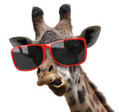 Lustiges Modemodeporträt einer Giraffe mit moderner Hippie-Sonnenbrille Stockfotografie