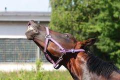 Lustiges Pferd, das seine Zähne in einer komischen Weise zeigt Stockfotos