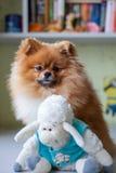 Lustiges Pomeranian mit dem Spielzeug, das in einem Innenraum sitzt Stockfoto