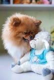 Lustiges Pomeranian mit dem Spielzeug, das in einem Innenraum sitzt Lizenzfreies Stockbild