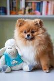 Lustiges Pomeranian mit dem Spielzeug, das in einem Innenraum sitzt Lizenzfreies Stockfoto
