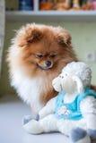 Lustiges Pomeranian mit dem Spielzeug, das in einem Innenraum sitzt Lizenzfreie Stockbilder