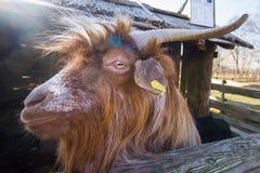 Lustiges Porträt der Ziege Stockfotos