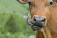 Lustiges Porträt einer Kuh stockbild
