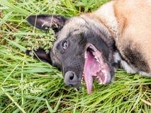Lustiges Porträt eines belgischen Schäferhundes, malinois, liegend an einem g lizenzfreies stockbild