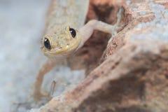 Lustiges Porträt von Kotschy-` s Gecko, mediodactylus kotschyi stockbilder