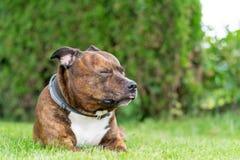 Lustiges Porträt von Staffordshire-Bullterrier mit geschlossenen Augen an Lizenzfreie Stockbilder