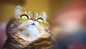 Lustiges portraite Gesicht der Katze der getigerten Katze Lizenzfreie Stockfotos
