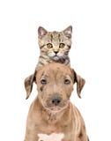 Lustiges Porträt von einem Pitbullwelpe und -kätzchen schottischen geraden Stockbild