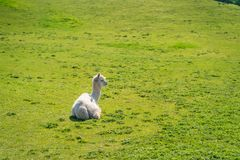 Lustiges schauendes weißes Alpaka am Bauernhof stockfotos