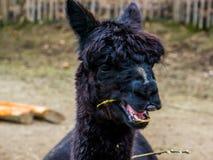 Lustiges schwarzes Alpaka, das auf etwas Heu, Alpakagesicht in der Nahaufnahme, bloßes Nasensyndrom, Tieralopezie verursacht Haar lizenzfreie stockbilder