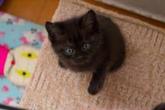 Lustiges schwarzes britisches Kätzchen mit den blauen Augen, die auf Katzenhaus sitzen und oben schauen Stockfotografie