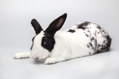 Lustiges Schwarzweiss-Kaninchen mit blauen Augen lizenzfreie stockfotografie