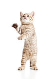 Lustiges spielerisches Katzekätzchen auf weißem Hintergrund Stockfoto