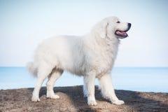 Lustre o Sheepdog de Tatra Modelo em sua raça Igualmente sabido como Podhalan foto de stock