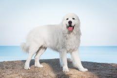 Lustre o Sheepdog de Tatra Modelo em sua raça Igualmente sabido como Podhalan fotos de stock royalty free