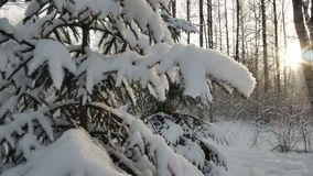 Lustro di Sun attraverso i rami innevati del pino Chiarore della lente Movimento regolare Priorità bassa di inverno video d archivio