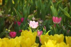 Lustro rosa di aura del fiore luminoso fotografie stock