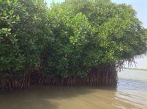 Lustrous, robust Mangrove. Mangrove forest, an Eco-tourism park at Pitchavaram lake, Tamilnadu, India stock image