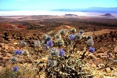 Lut desert. Flowers in the lut desert, iran Royalty Free Stock Image