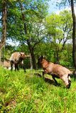 Luta branca doméstica nova de duas cabras Fotografia de Stock Royalty Free