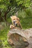 Luta brincalhão das raposas Fotografia de Stock Royalty Free