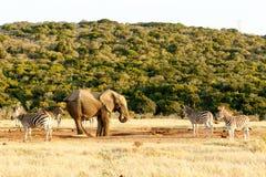 Luta da cauda do elefante e da zebra imagem de stock royalty free