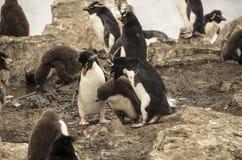 LUTA DA FAMÍLIA DOS PINGUINS Imagem de Stock