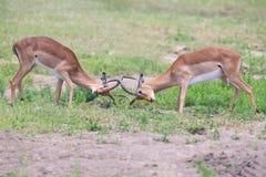 Luta da impala de dois homens dentro para o rebanho com melhor território Fotografia de Stock