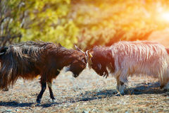 Luta das cabras de montanha fotos de stock