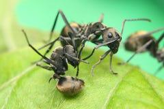 Luta das formigas fotos de stock royalty free
