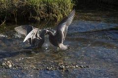 Luta das gaivota de miado (canus do larus) Imagem de Stock Royalty Free